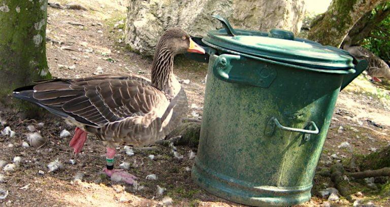 Meditierende Ente vor einem Mülleimer.